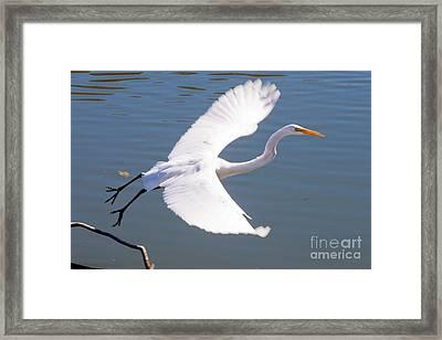 Greeat Egret Flying Framed Print by Thomas Marchessault