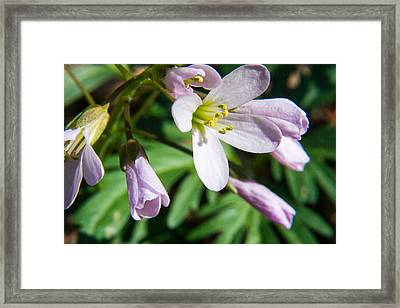 Greek Valerian 1 Framed Print by Douglas Barnett