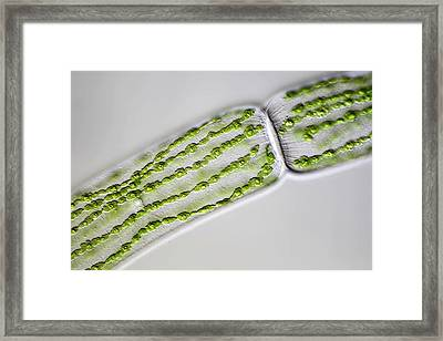 Green Alga Framed Print