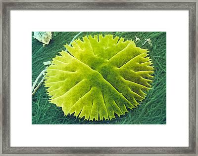 Green Alga, Micrasterias Framed Print
