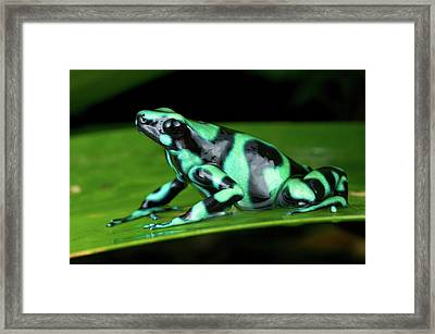 Green And Black Poison Dart Frog Framed Print by Andres Morya Hinojosa