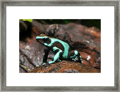 Green And Black Poison Dart Frog Framed Print
