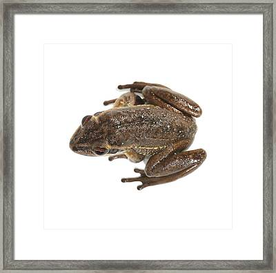 Green And Golden Bell Frog Framed Print