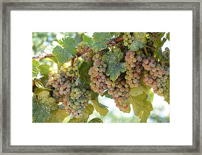 Green And Pink Grapes On The Vine Framed Print