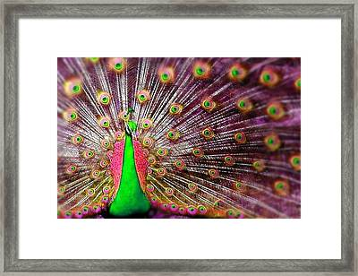 Green And Pink Peacock Framed Print by Diana Shively