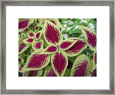 Green And Purple Coleus Framed Print by Dusty Reed