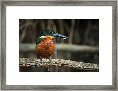 Green And Rufous Kingfisher Framed Print by Pete Oxford