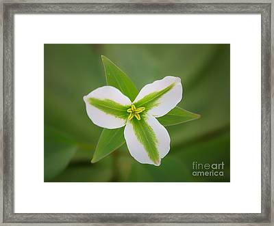 Green And White Trillium Framed Print by Todd Bielby
