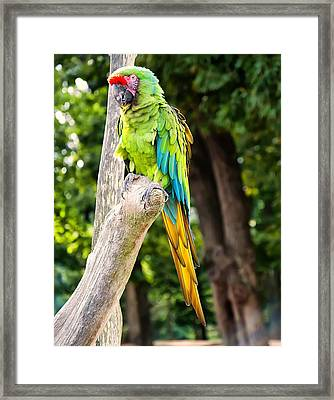 Green And Yellow Macaw Framed Print by Chris Flees