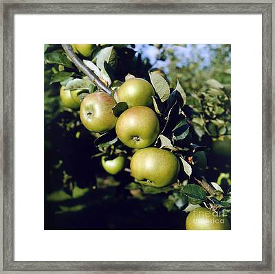 Green Apples On Branch Framed Print by Anthony Cooper