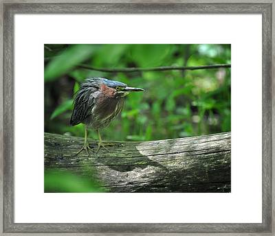 Green Backed Heron At The Swamp Framed Print by Rebecca Sherman