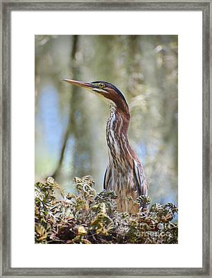 Green Backed Heron In An Oak Tree Framed Print by Kathy Baccari