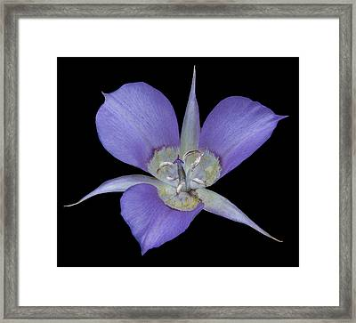 Green Banded Mariposa Lily Framed Print by Loree Johnson