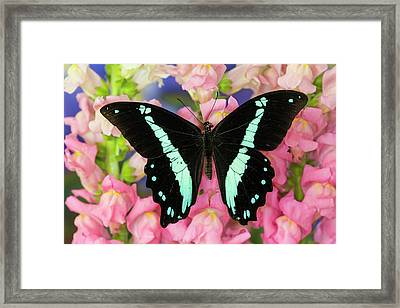 Green-banded Swallowtail Or African Framed Print by Darrell Gulin