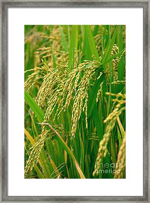 Green Beautiful Rice Farming Framed Print by Boon Mee