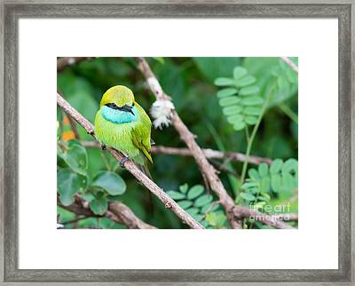 Green Bee-eater Merops Orientalis Framed Print by Christina Rahm