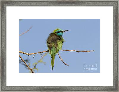 Green Bee-eater Merops Orientalis Framed Print by Eyal Bartov