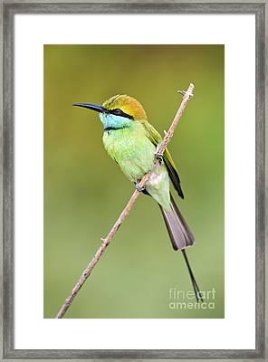 Green Bee-eater Framed Print by Tony Camacho