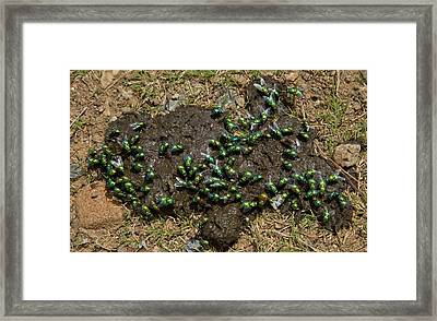 Green Bottle Flies Feeding On Cow Dung Framed Print by Bob Gibbons