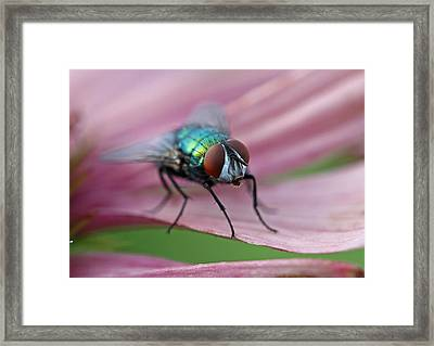 Green Bottle Fly Framed Print by Juergen Roth