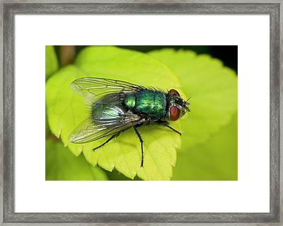 Green Bottle Fly Framed Print