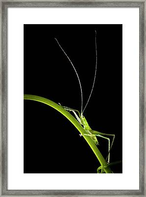 Green Bush Cricket Framed Print by Alex Hyde