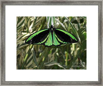 Framed Print featuring the photograph Green Butterfly by Brenda Brown