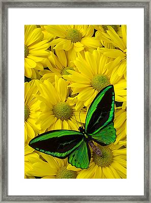 Green Butterfly On Yellow Mums Framed Print by Garry Gay