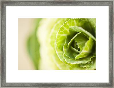 Green Cabbage Framed Print by Anne Gilbert