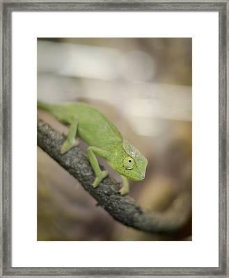 Green Chameleon Framed Print