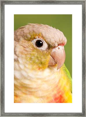 Green-cheeked Conure Pineapple P Framed Print by David Kenny