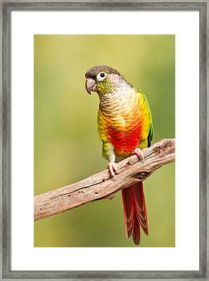 Green-cheeked Conure Pyrrhura Molinae Framed Print by David Kenny