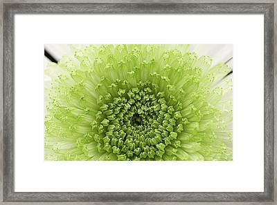 Green Chrysanthemum Framed Print by Lesley Rigg
