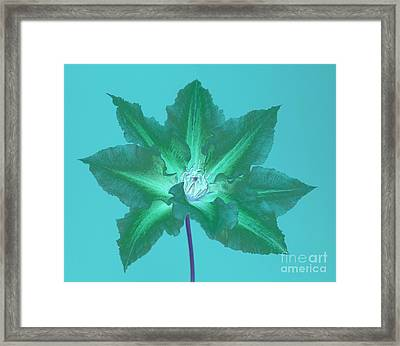Green Clematis On Turquoise Framed Print by Rosemary Calvert