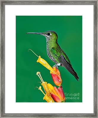 Green-crowned Brilliant Framed Print by Anthony Mercieca