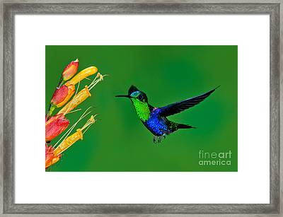 Green-crowned Woodnymph Framed Print