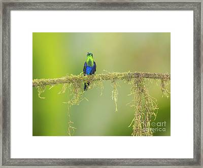 Green-crowned Woodnymph Hummingbird Framed Print