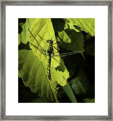 Green Darner Dragonfly  Framed Print by Thomas Young