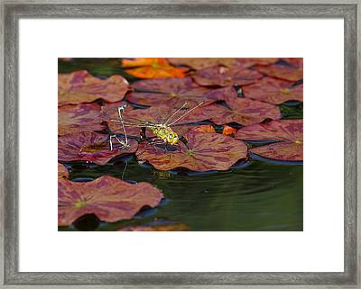Green Darner Dragonfly With Friends Framed Print