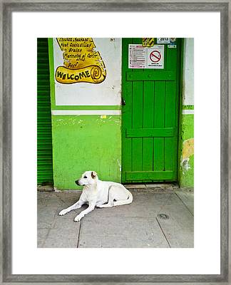 Green Door Lazy White Dog  Framed Print by Calvin Hanson