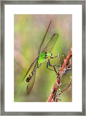 Green Dragon Framed Print by Theo
