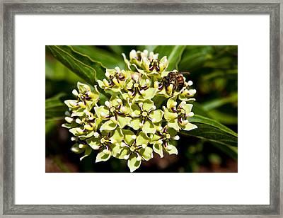 Green Flowered Milkweed Framed Print by Mark Weaver