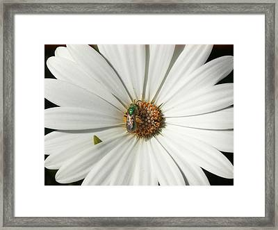 Green Fly On White Flower Framed Print