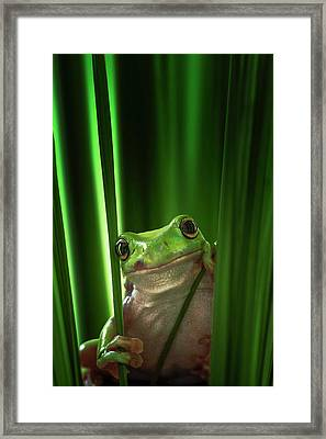Green Frog Framed Print by Ahmad Gafuri