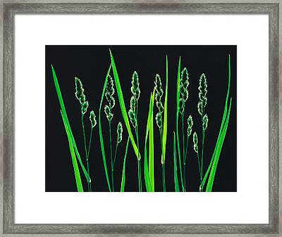 Green Grass Reeds On Black Background Framed Print by Panoramic Images