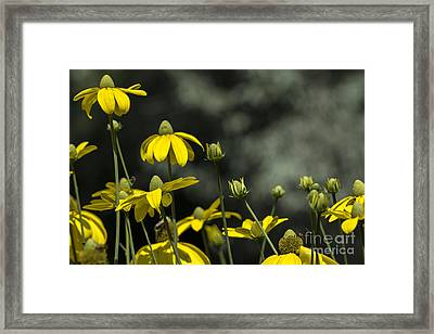 Green Headed Coneflower Framed Print