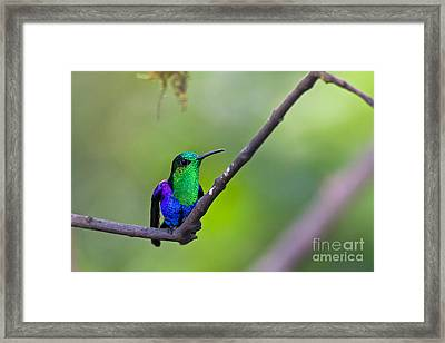 Green-headed Woodnymph Framed Print