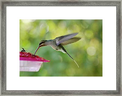 Green Hermit Hummingbird Feeding Framed Print