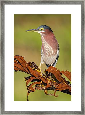 Green Heron Framed Print by Andres Leon