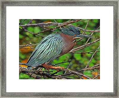 Green Heron Breeding Colors Framed Print